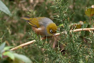 Silvereye - 01 - Orokonui Ecosanctuary - Dunedin, NZ