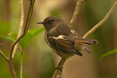 Stitchbird - female - Tiritiri Matangi Island, NZ