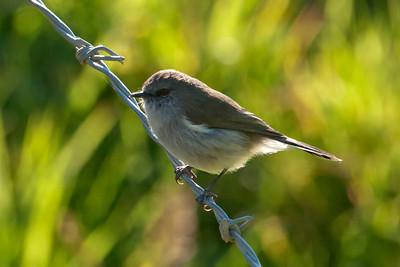 Grey Gerygone - (Grey Warbler) - Portobella, NZ