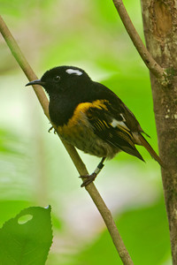 Stitchbird - male - Tiritiri Matangi Island, NZ
