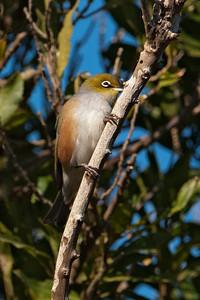 Silvereye - 02 - Orokonui Ecosanctuary - Dunedin, NZ