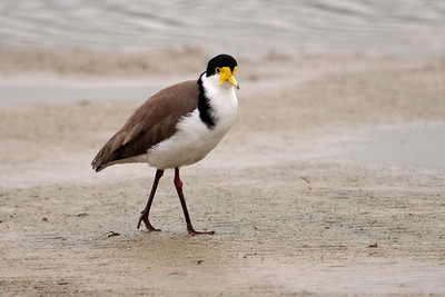 Masked Lapwing - (Spur-winged Plover) -  Coopers Inlet - Otago Bay, NZ