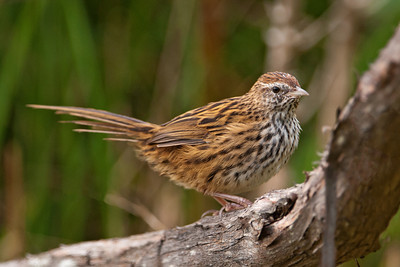 New Zealand Fernbird - 01 - Orokonui Ecosanctuary - Dunedin, NZ
