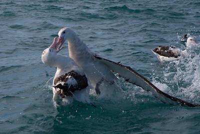 Albatross - Wandering - squabbling - 01 - Kaikoura, NZ