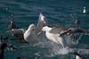 Albatross - Wandering - squabbling - 02 - Kaikoura, NZ