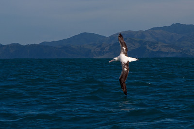 Albatross - Wandering - 06 - Kaikoura, NZ