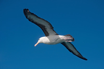 Albatross - Black-browed - 04 - Kaikoura, NZ