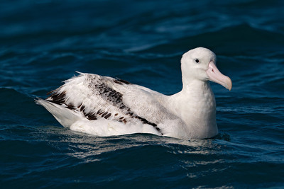Albatross - Wandering - 01 - Kaikoura, NZ
