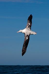 Albatross - Wandering - 04 - Kaikoura, NZ