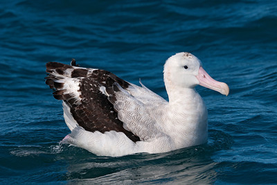 Albatross - Wandering - 02 - Kaikoura, NZ