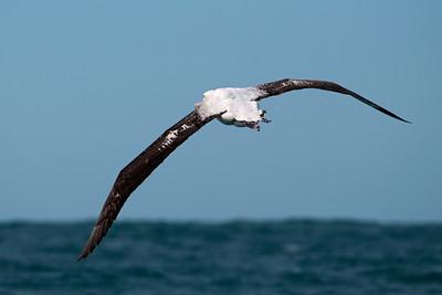 Albatross - Wandering - 05 - Kaikoura, NZ