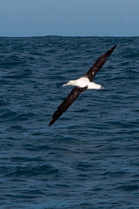 Albatross - Northern Royal  - Kaikoura, NZ