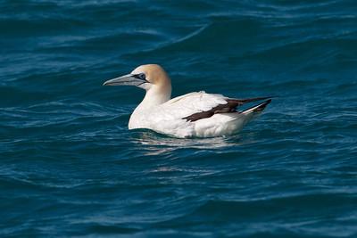 Gannet - Australasian - 01- Kaikoura, NZ