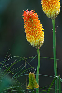 Torch Lily - (Kniphofia) also know as Red Hot Poker - Auckland, NZ