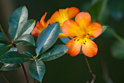 Vireya Rhododendron -02 - Auckland, NZ