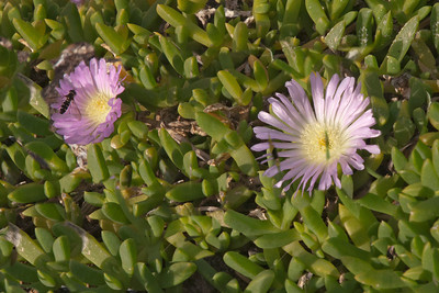 Ice Plant - (Mesembryant hemum) - also known as Livingstone Daisy - Otago Bay, NZ