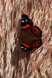 Butterfly - New Zealand Red Admiral - 02 - Otago Bay, NZ