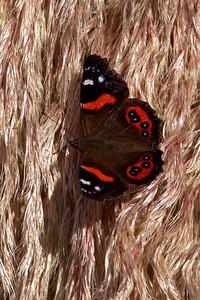 Butterfly - New Zealand Red Admiral - 02 - Otago Bay, NZ