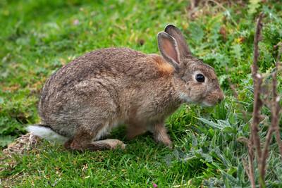 Rabbit - Eurasian - Pilot's Beach - Otago Peninsula, NZ