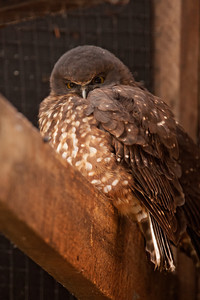 Morepork - I wasn't able to see one of these owls so here is a photo I took at the Kiwi Birdlife Park in Queenstown, NZ.