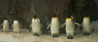 Penguin - King and Gentoo - Kelly Tarlton's Antactic Expedition - Auckland, NZ
