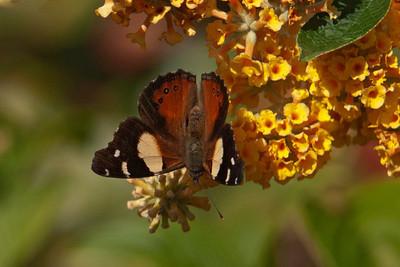 Butterfly - Yellow Admiral - 02 - Roxburgh, NZ