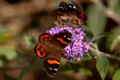 Butterfly - New Zealand Red Admiral - 01 - Otago Bay, NZ