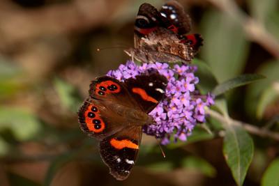 Butterfly - New Zealand Red Admiral - 01 - Otago Bay, NZ