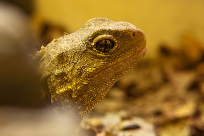 Tuatara - We saw this reptile at the Kiwi Birdlife Park in Queenstown, NZ