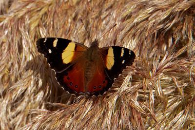 Butterfly - Yellow Admiral - Otago Bay, NZ