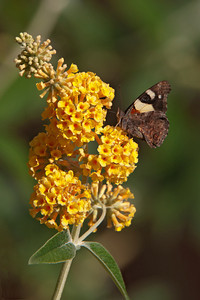 Butterfly - Yellow Admiral - 01 - Roxburgh, NZ
