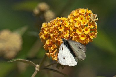 Butterfly - Cabbage White - Roxburgh, NZ