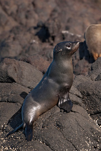 Fur Seal pup - 01 - Otago Bay, NZ