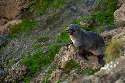 Fur Seal - 02 - Otago Bay, NZ