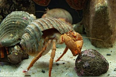 Hermit Crab - 01