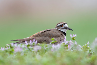 Killdeer, Burchard, NE, US, May 2018-1