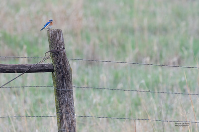 Eastern Bluebird, Burchard, NE, US, May 2018-1