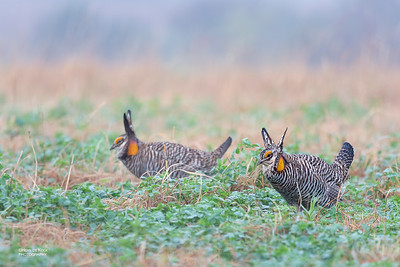 Greater Prairie-Chicken, Burchard, NE, US, May 2018-10