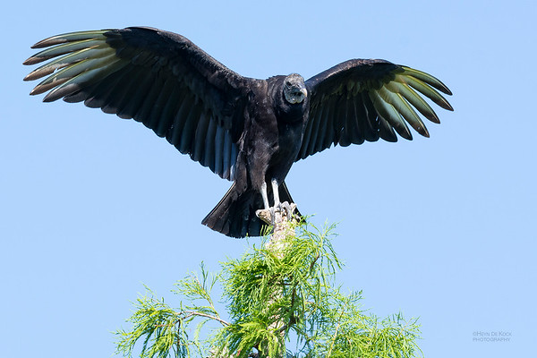 Black Vulture, Circle B Bar, Lakeland, FL, USA, May 2018-2