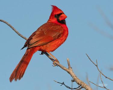 Northern Cardinal, Circle B Bar, Lakeland, FL, USA, May 2018-1