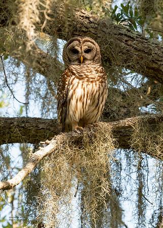 Barred Owl, Circle B Bar, Lakeland, FL, USA, May 2018-1