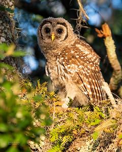 Barred Owl, juv, Circle B Bar, Lakeland, FL, USA, May 2018-1
