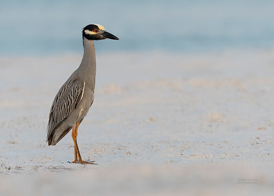 Yellow-crowned Night-Heron, Fort De Soto, St Petersburg, FL, USA, May 2018-1