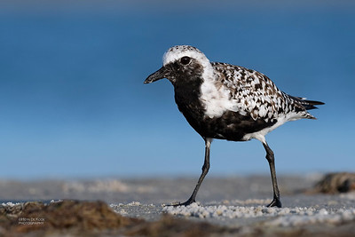 Grey Plover, Fort De Soto, St Petersburg, FL, USA, May 2018-8
