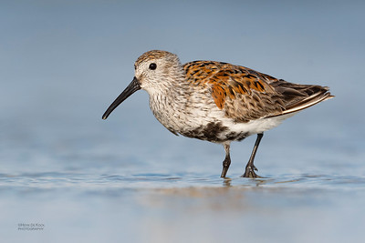 Dunlin, Fort De Soto, St Petersburg, FL, USA, May 2018-1