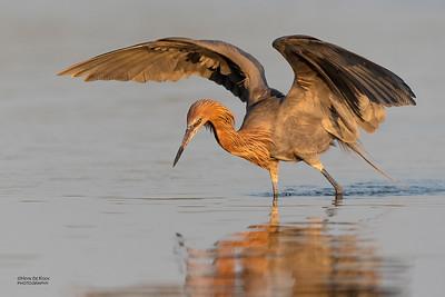 Reddish Egret, Fort De Soto, St Petersburg, FL, USA, May 2018-9
