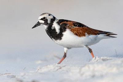 Ruddy Turnstone, Fort De Soto, St Petersburg, FL, USA, May 2018-2