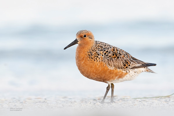 Red Knot, Fort De Soto, St Petersburg, FL, USA, May 2018-1