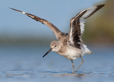 Willet, Fort De Soto, St Petersburg, FL, USA, May 2018-6