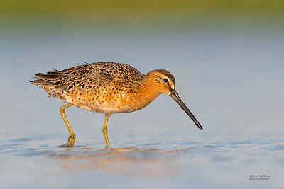 Short-billed Dowitcher, Fort De Soto, St Petersburg, FL, USA, May 2018-13 (1)